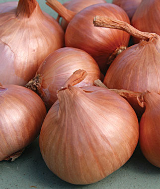 Shallots, Holland Red, , large